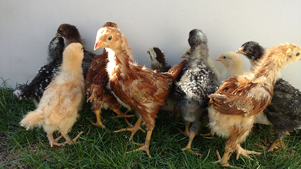 Friday Favorites Chickens